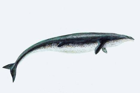 Basilosaurus Facts - information about the extinct ...